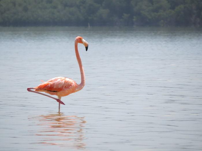 Animals In The Wild Bird Celestun Flamingo Mexico Nature At Its Best Reserva De La Biosfera Tranquility Travel The World Water Water Bird Wildlife