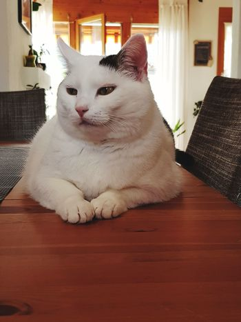 Dominance No People Indoors  Pets Sitting Domestic Cat Portrait Feline Looking At Camera Home Interior Cat