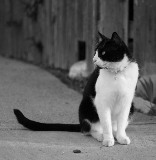 Purr rule of thirds Stoic Concentration Staredown Meow Cat Blackandwhite Black And White Black & White Pets Sitting Dog Domestic Cat Tail Cute Animal Themes
