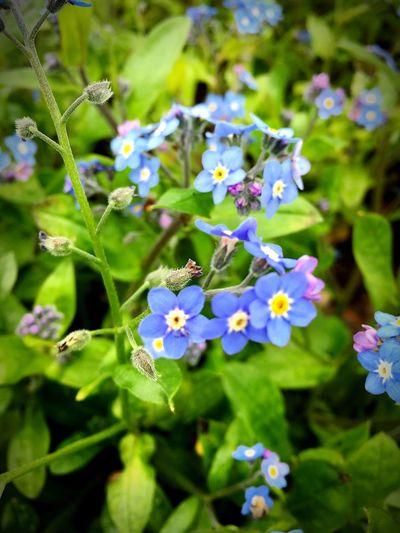 私を忘れないで…この花の花言葉…昔からこの花の色のコントラストが大好きで好きなお花です(ˊo̶̶̷ᴗo̶̶̷`) 忘れな草 小さい花