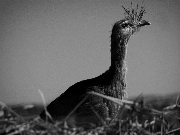 Bird Animal Themes Animal Wildlife Animals In The Wild Bird Black Blackandwhite Close-up Day Mammal Monochrome Nature Nature_collection No People One Animal Outdoors Peacock