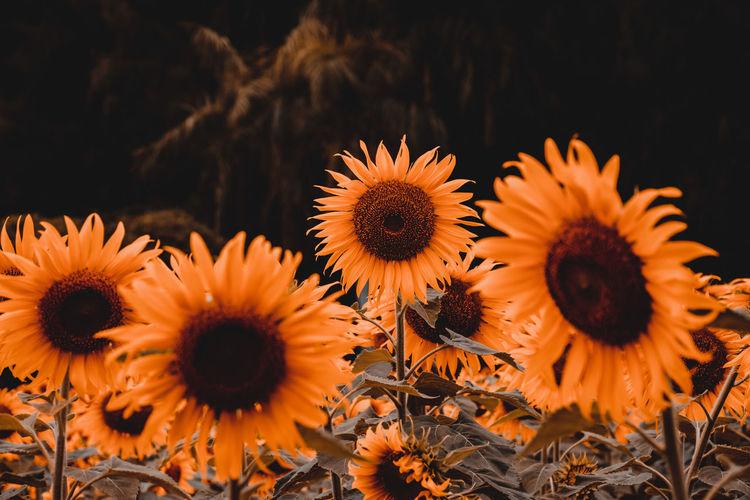 Orange tone sunflower, sunflower field