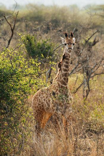 Portrait of giraffe standing on field