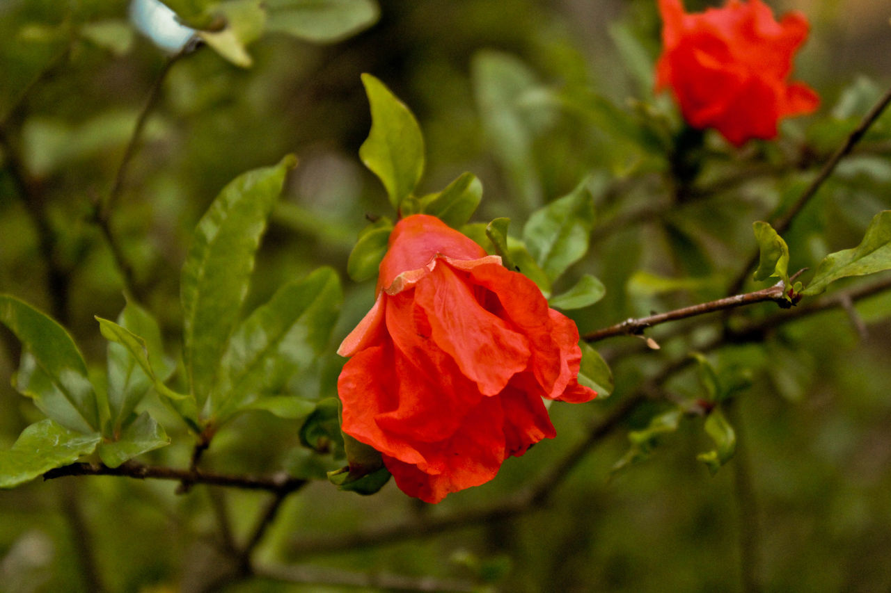 flower, growth, red, nature, petal, beauty in nature, plant, fragility, flower head, no people, freshness, outdoors, close-up, blooming, day