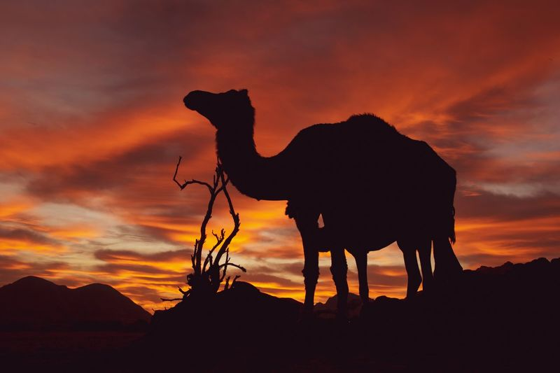 EyeEm Selects Sunset Sky Mammal Silhouette Animal Animal Themes Domestic Animals Orange Color Cloud - Sky Domestic Pets Nature Camel Vertebrate Land Beauty In Nature Standing Animal Wildlife Livestock One Animal
