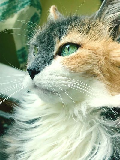 Cat Eyes Calico Animal One Animal Animal Themes Cat Pets Feline Domestic Close-up
