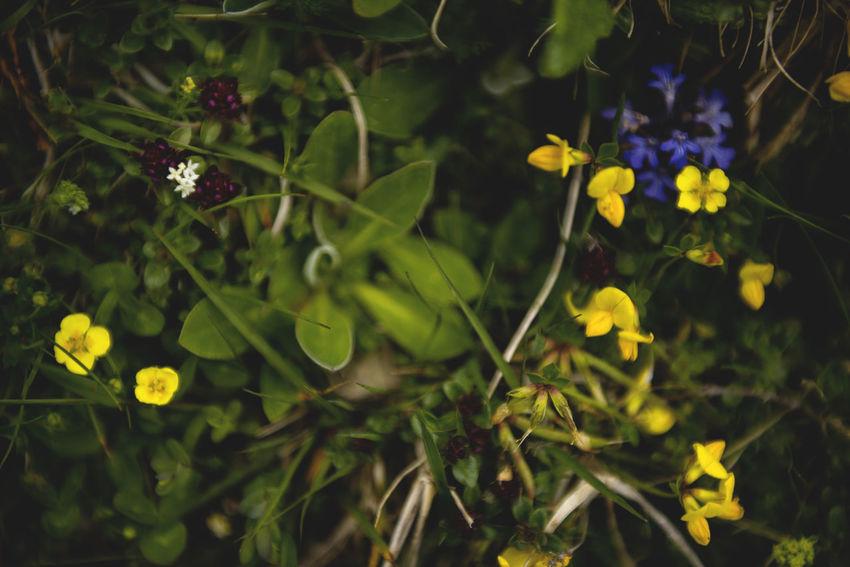 Botanical series: Micrology Alpine Green Hippocrepis Comosa Horseshoe Vetch Hufeisenklee Micro Nature Plants Potentilla Crantzii Thymus Citriodorus Alpine Cinquefoil Alps Botanical Butterblume Buttercup Clinopodium Alpinum Close-up Crowfoot Fingerkraut Flowers Hahnenfuß Lanuginosus Lemon Thyme Micrology Mini Mountain Plants