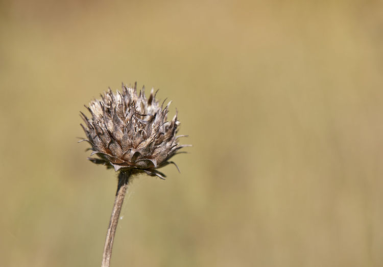 Plant Plant Beauty In Nature Close-up Day Dried Plant Flower Flower Head Fragility Nature No People Outdoors Thistle Wilted Plant