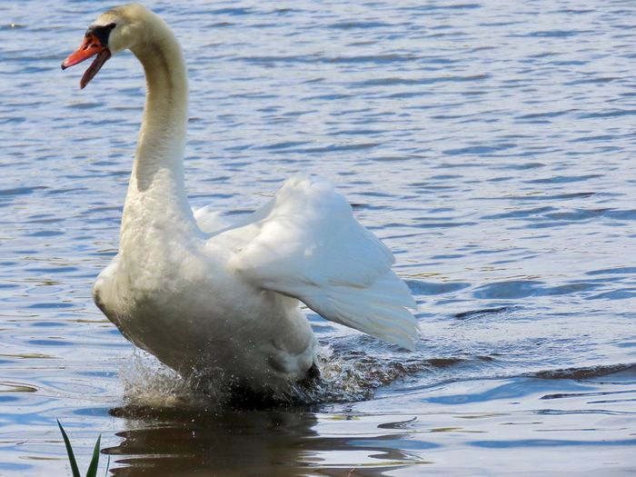 Mute swan motoring through water to scare away intruders from his family birds of EyeEm animal themes beauty in nature outdoors Animal Wildlife Water Bird No People