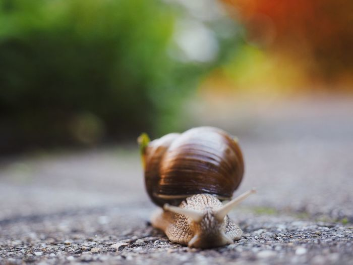 Slow Life Slow Snail One Animal Animal Themes Gastropod Wildlife Animal Shell Animals In The Wild Outdoors Close-up Nature Road