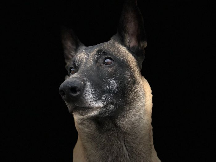 Yanos IPO1 standing for a portrait Belgian Malinois Black Background Dog Domestic Animals Malinois Pets Studio Shot