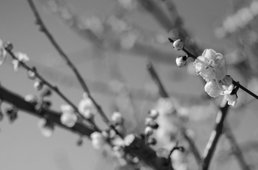 Plum Flower Nature Growth Fragility Beauty In Nature Plant Petal