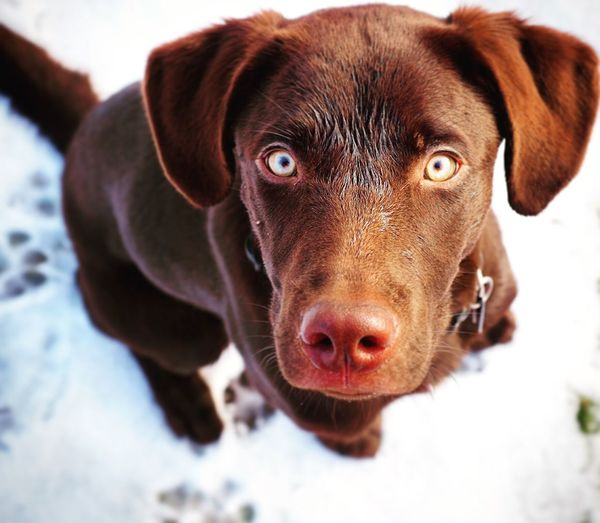 High angle portrait of chocolate labrador retriever puppy on snow