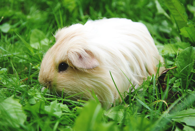 Close-up of white guinea pig on field