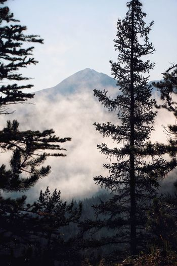 Scenic view of pine trees against sky