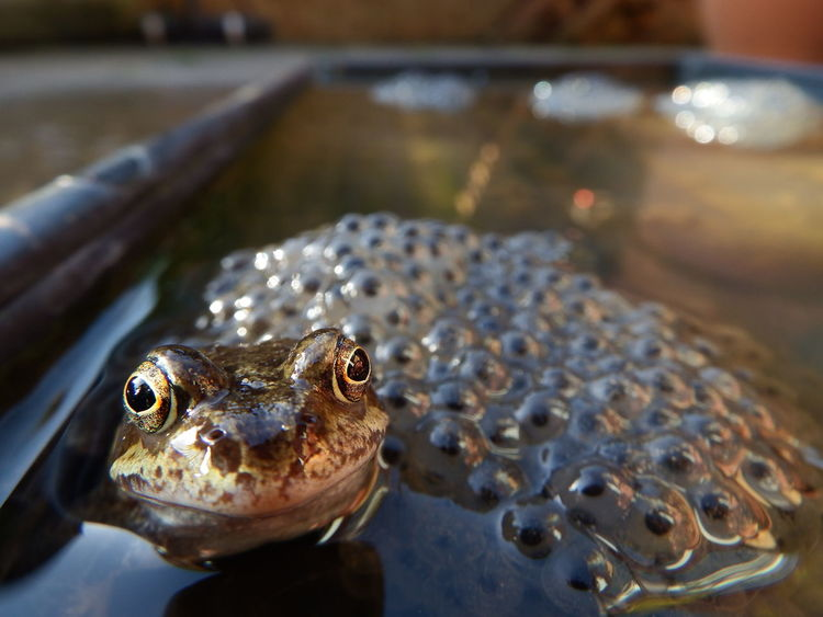 Proud Dad Amphibian Animal Head  Animal Themes Busy Busy Day Close-up Focus On Foreground Frog Frogspawn Garden Garden Photography No People One Animal Proud Proud Dad Proudfather  Water Wildlife Urban Spring Fever Nature Photography Happy Happy Anímals Animals Nature Nature_collection