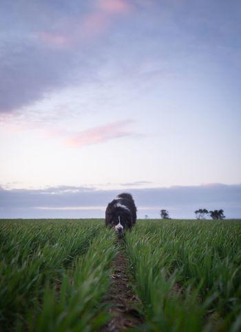 Australian Shepherd on a Scent Australian Shepherd  Creativity Field Wheat Field Animal Animal Themes Australianshepherd Barleythepupofpower Canine Cloud - Sky Crop  Domestic Domestic Animals Field Grass Land No People One Animal Outdoors Plant Scenics - Nature Sky Sniffing Sunset