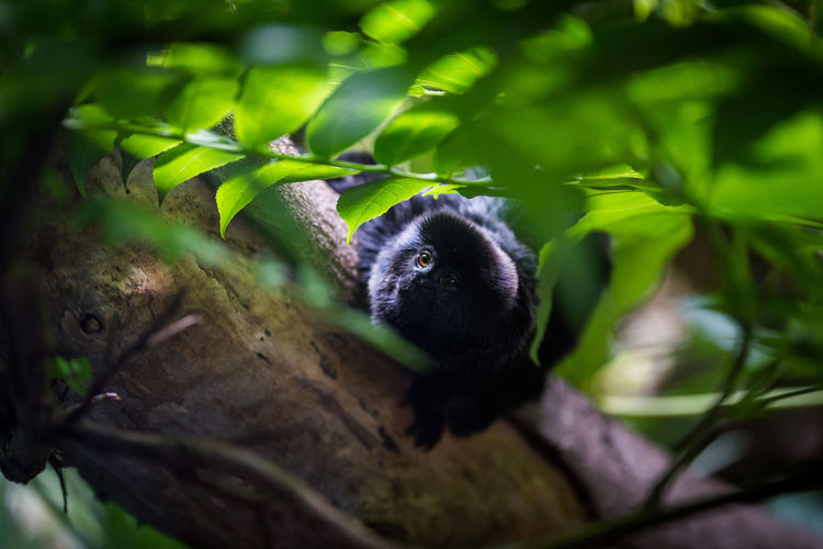 Goeldi's Monkey peering out from a tree. Animal Themes Animal Wildlife Animals In The Wild Black Branch Callimico Goeldii Curious Goeldi Goeldi's Monkey Green Color Hiding Landscape Looking At Camera Mammal Monkey Nature No People One Animal Outdoors Peering Tree