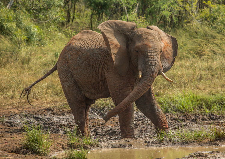 Elephant standing on land