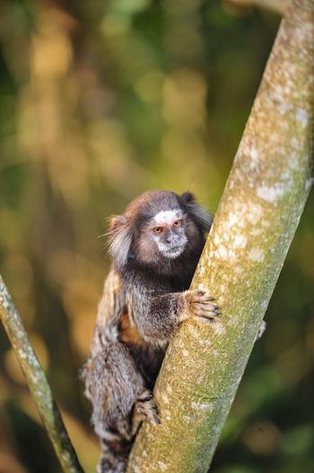 ExploringBrazil Tamarin Primate Animal Animals In The Wild Focus On Foreground Zoology Beauty In Nature Nature Branch Getting Inspired EyeEm Best Shots Eye4photography