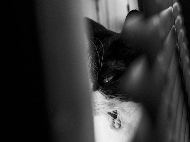 The Beast! Cat Blackandwhite Animals Black And White