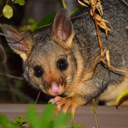 Had this little fella hanging out in the backyard. Visitcanberra Canberra Canberrawildlife Thiscanberranlife Canberralife Igerscanberra Igeraustralia Sofranksocial Iglobal_photographers Vip_world_photo Possum Challengeonnaturephotography