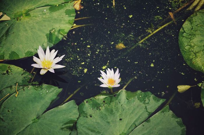 | Orto Botanico | EyeEm Italy Orto Botanico Padova Flower Head Flower Water Lily Pad Lotus Water Lily Leaf Water Lily Floating On Water Water Plant Lotus Floating In Bloom Botany