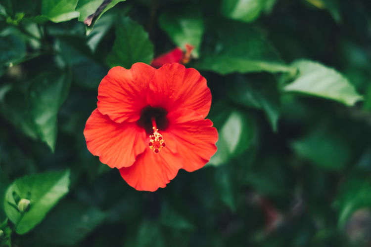 hibiscus Flower Petal Flowering Plant Plant Fragility Vulnerability  Flower Head Freshness Inflorescence Growth Beauty In Nature Close-up Red Hibiscus Pollen Focus On Foreground Nature Background Backgrounds Copy Space Selective Focus Green Color Plant Bloom Outdoors