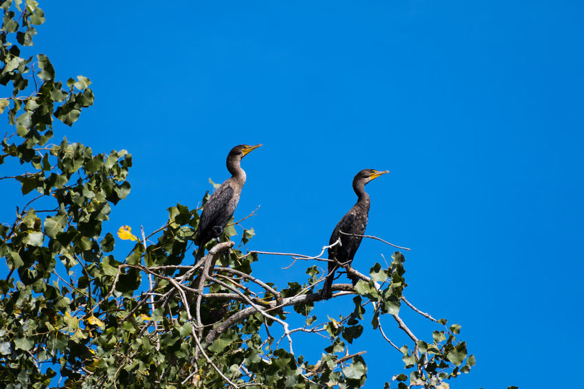 Cormorant  Animal Themes Animal Wildlife Animals In The Wild Beauty In Nature Bird Blue Branch Clear Sky Cormorants Day Low Angle View Nature No People Outdoors Perching Sky Tree