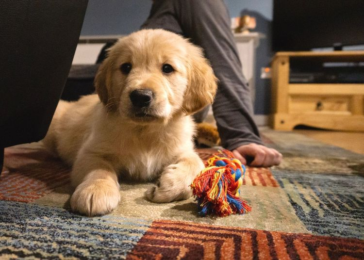 Paws Friendship Play Cozy Family Home Interior Home Dog Beautiful Golden Retriever Baby Puppy Puppy Love Domestic Pets One Animal Dog Mammal Animal Themes Canine
