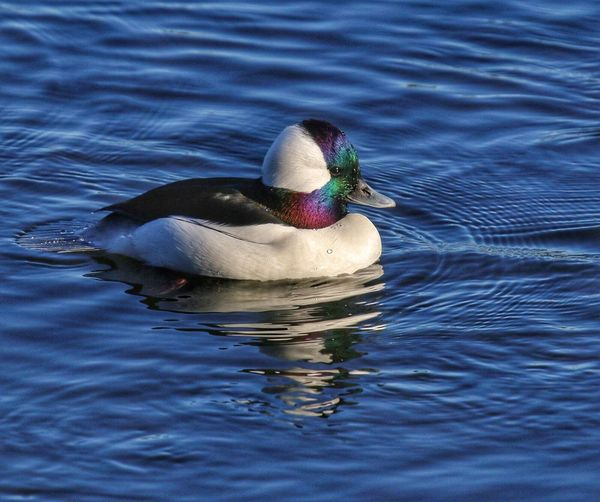 Blue Water Waterfowl Colorful Bufflehead Water Animal Themes Animal Animals In The Wild No People Lake Rippled One Animal Duck High Angle View Nature Water Bird