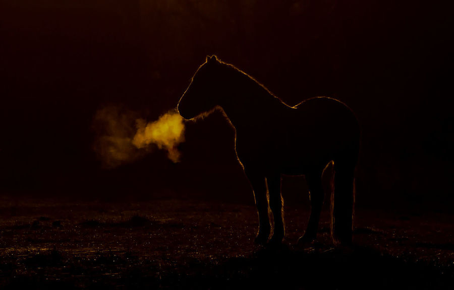 Backlit sun light sunset sunrise horse pony atmospheric breath cold No People Nature Black Background Outdoors Mammal Beauty In Nature Living Organism Animal Themes Adapted To The City