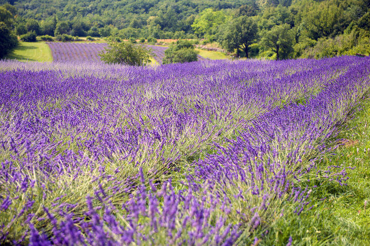 Agriculture Beauty In Nature Environment Field Flower Flower Head Flowerbed Flowering Plant Freshness Growth Land Landscape Lavender Lavender Colored Nature No People Outdoors Plant Purple Rural Scene Scenics - Nature Tranquil Scene Tranquility