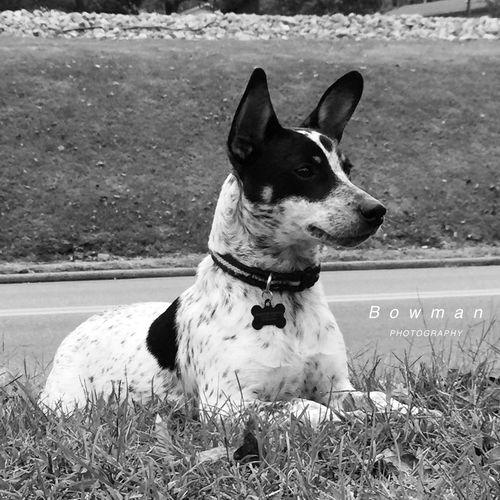 Duke Mans Best Friend❤️ Mans Best Friend♡ Mans Best Friend Blue Heeler Mix Jack Russell Mix Dog Domestic Animals Pets Animal Themes Mammal One Animal