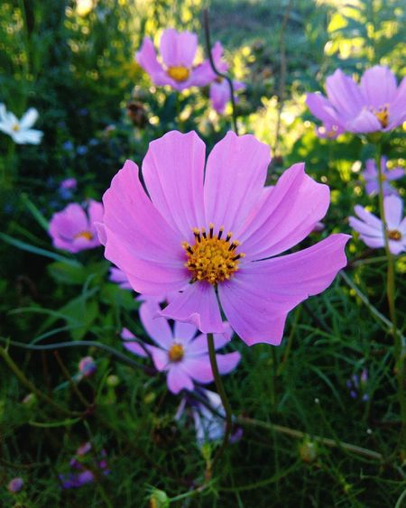 Flower Petal Fragility Flower Head Nature Plant Pink Color Beauty In Nature Freshness Cosmos Flower Day Pollen No People Growth Outdoors Close-up Blooming