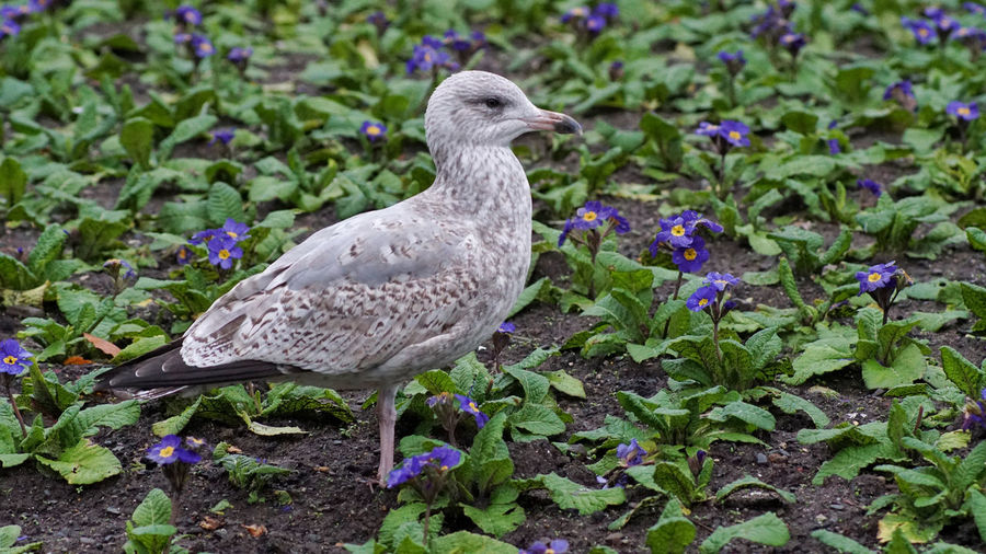 Close-up of seagull perching on a field