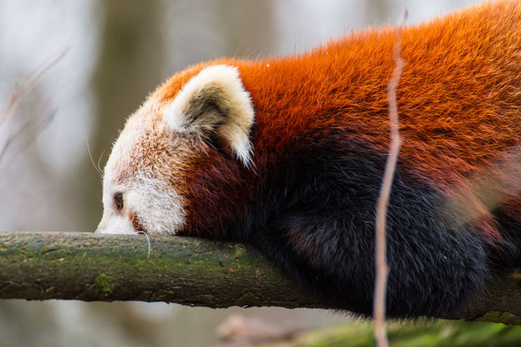 Tier Tierfotografie Tierpark Berlin TierparkBerlin Animal Animal Head  Animal Photography Animal Themes Animal Wildlife Animals In The Wild Close-up Day Focus On Foreground Mammal Nature No People One Animal Outdoor Outdoors Panda Panda - Animal Red Panda Relaxation Resting Roter Panda Selective Focus Tierpark Vertebrate Whisker Zoo Zoology