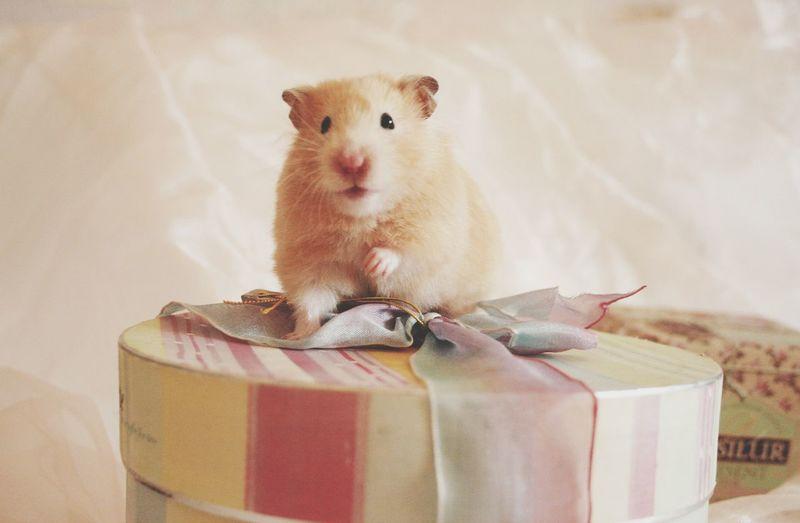 Hamster Hamsters Hamster Love Love Animal Animals Cute Pets Cute