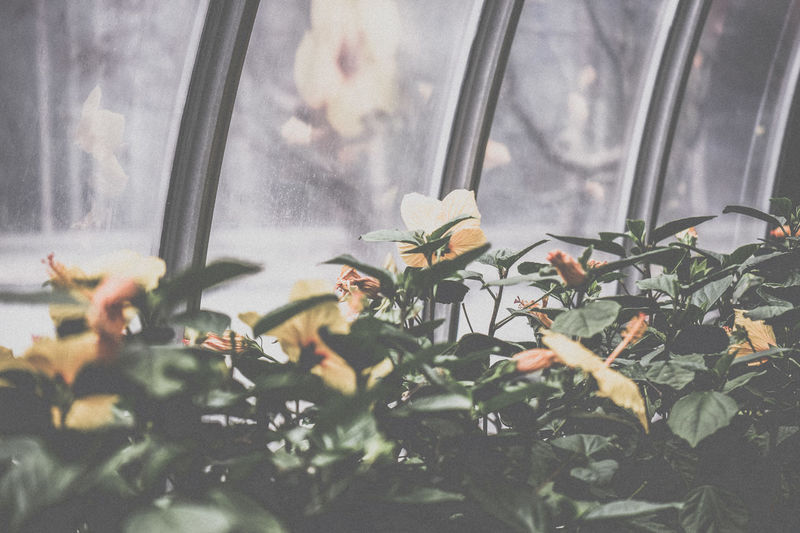 Flowers Foggy Window Greenhouse Greenhouse Plants Misty Window Reflection Reflections Windows Yellow Flowers
