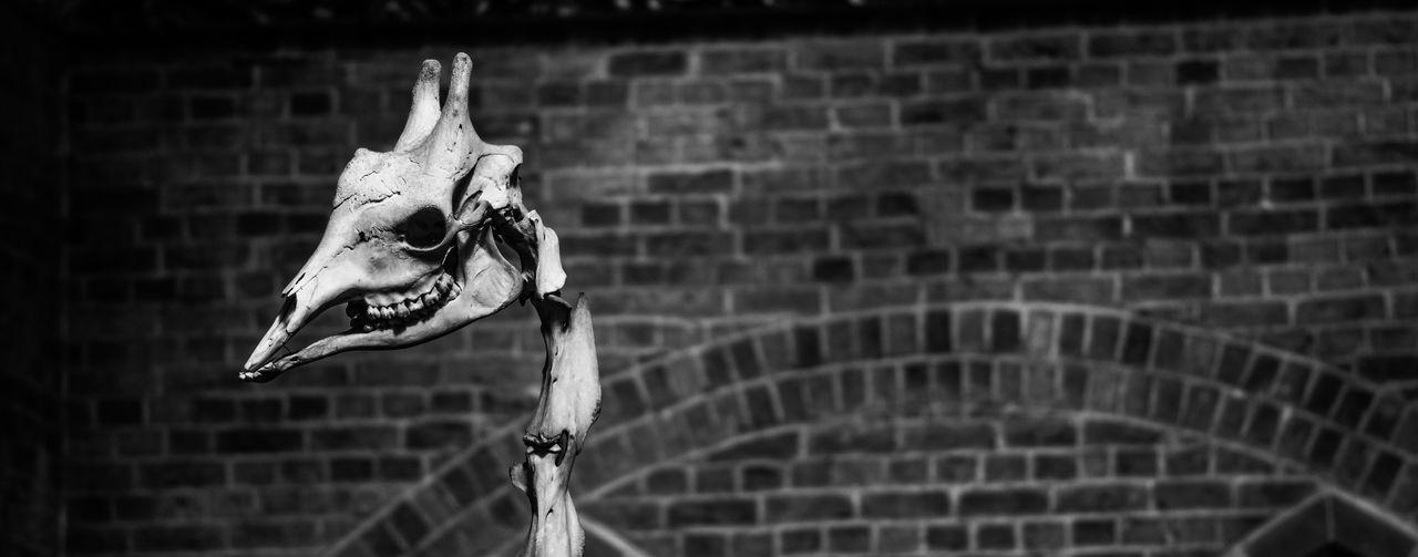 Giraffe skeleton in museum
