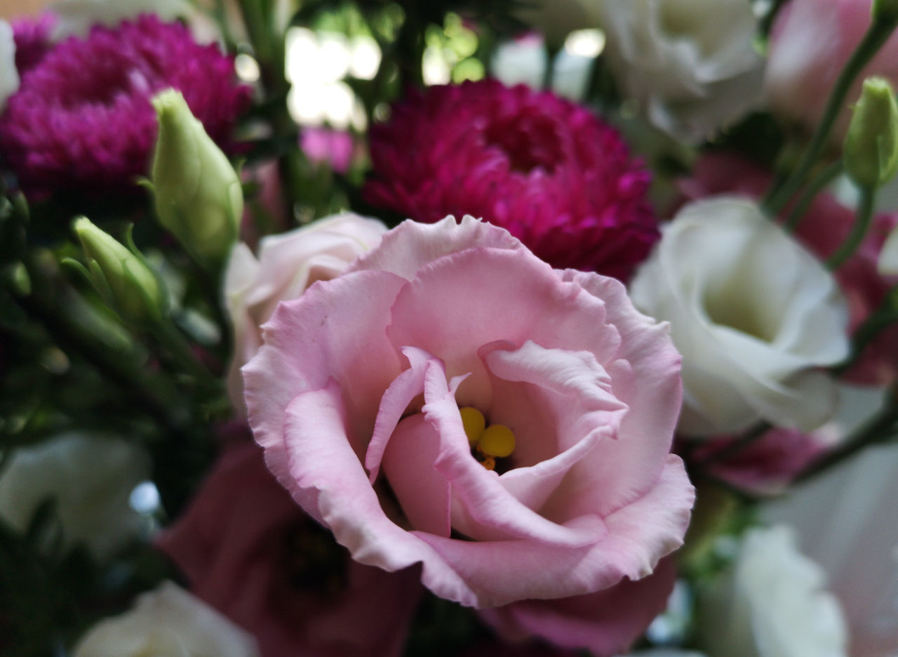 flowering plant, flower, petal, plant, freshness, beauty in nature, flower head, close-up, vulnerability, fragility, inflorescence, rose, growth, rose - flower, nature, pink color, focus on foreground, no people, day, outdoors, flower arrangement, purple, bouquet, softness