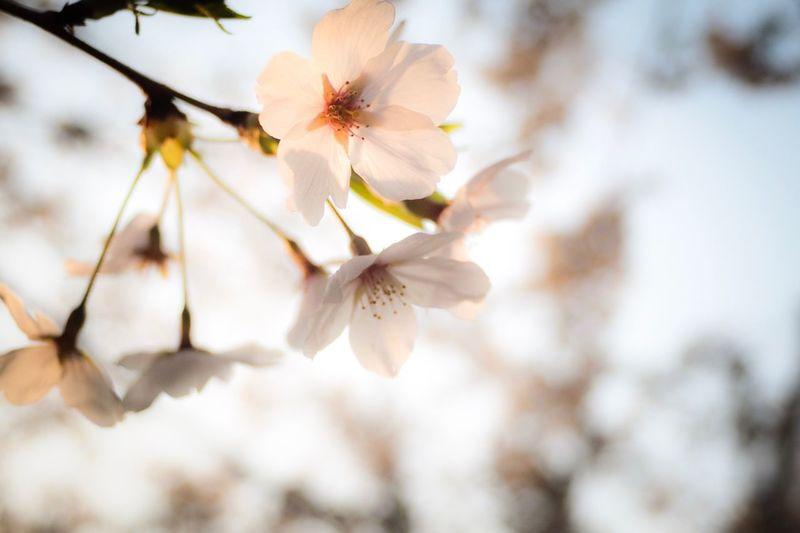 Sakura Plant Beauty In Nature Flower Fragility Flowering Plant Growth Vulnerability  Freshness Springtime Close-up Blossom Petal Flower Head Nature