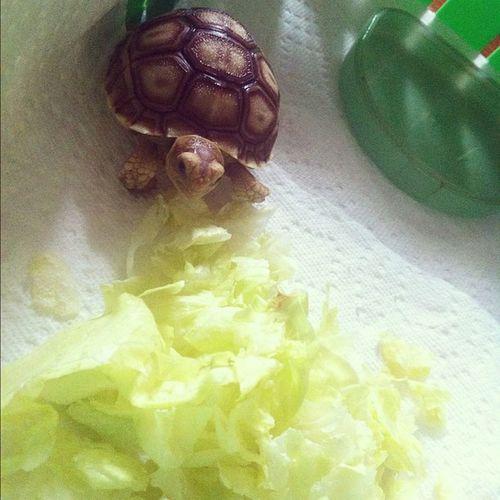 ¡ay mami pero que linda soy! ya estoy bañadita & ahora estoy ready pa comerme este banquete <3 Sulcata Sulcatalover Ilovemytortoise Tortoise tortuga cute boricua love my pet