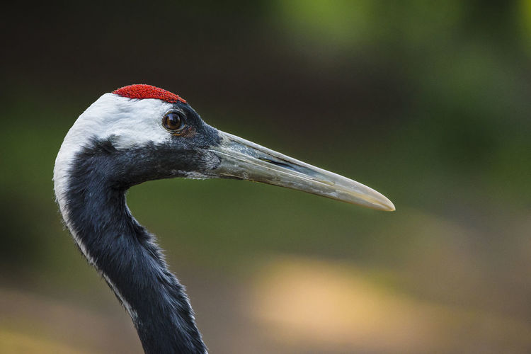 Close-up of japanese crane