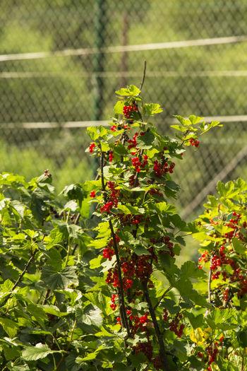 Redcurrant Beauty In Nature Berries Berry Berry Fruit Berrys Fruit Fruits Nature Redcurrant Redcurrants Ribisel Rote Johannisbeeren