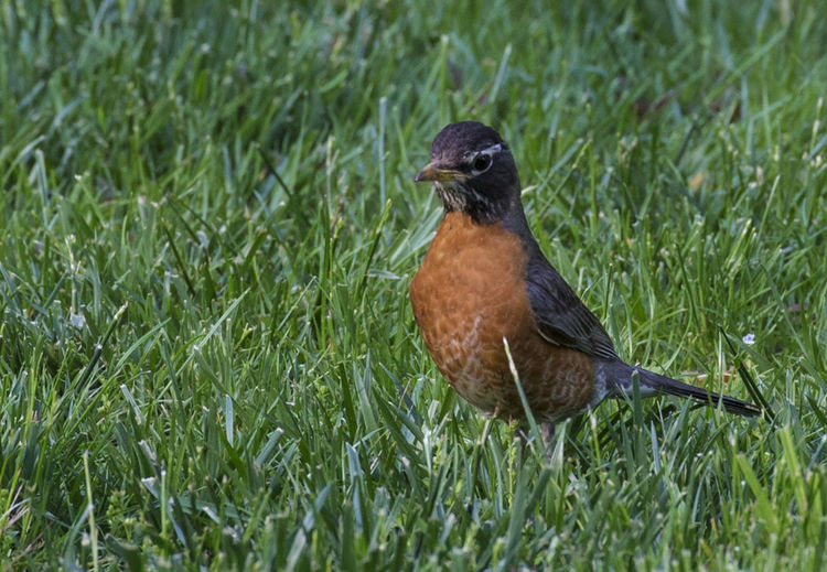A stroll in the grass American Robin Animal Animal Themes Animal Wildlife Animals In The Wild Beauty In Nature Bird Field Grass Green Color Nature One Animal Robin Redbreast Selective Focus
