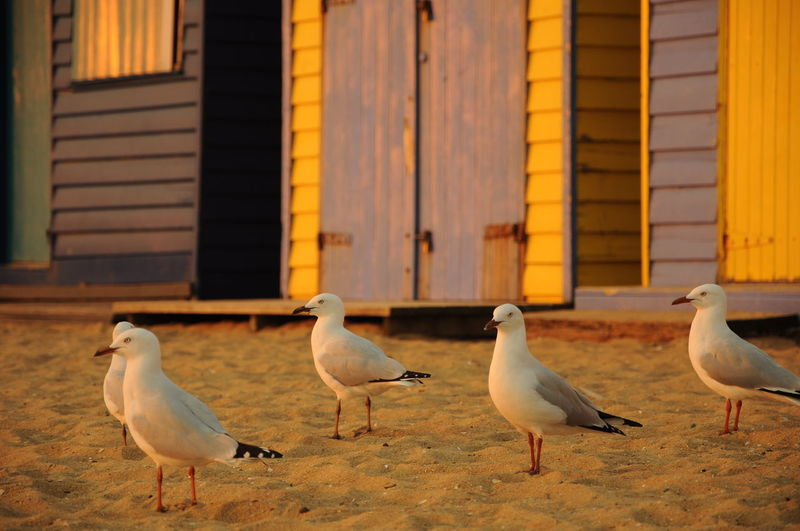 Seagulls perching on sand against beach huts