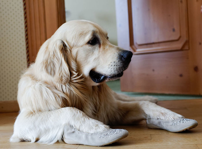 Close-up of dog wearing shoes while lying on wooden floor at home