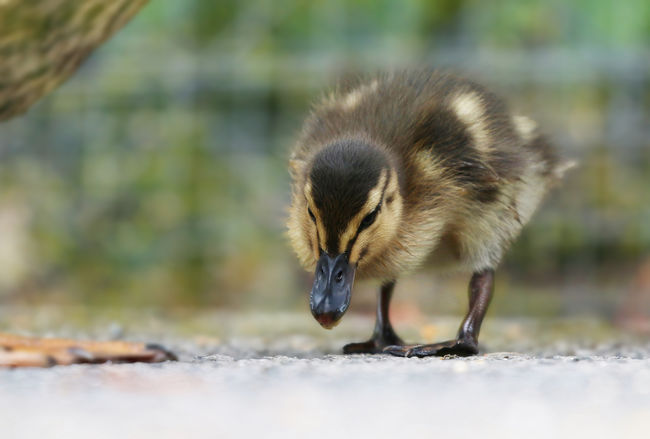 Mallard Duckling Animal Animal Themes Animal Wildlife Animals In The Wild Bird Close-up Day Field Focus On Foreground Gosling Land Mammal Nature No People One Animal Outdoors Selective Focus Side View Vertebrate Young Animal Young Bird