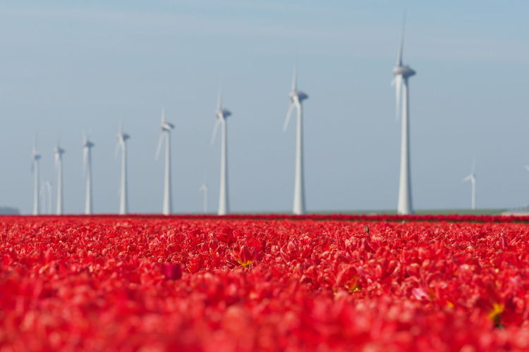 Red flowers on field by windmills against clear sky during sunny day